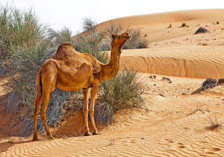 Camel in the desert of UAE