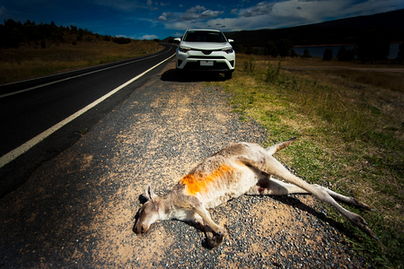 Exceeded Kangaroo in Outback in New South Wales Australia