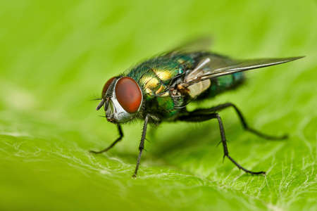 Photo for detailed close-up macro of a shiny golden greenbottle fly sitting on a leaf - Royalty Free Image