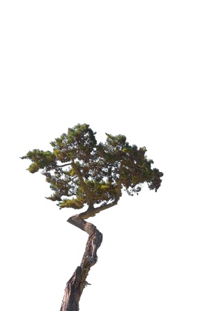 A lone cypress tree isolated on a white background.
