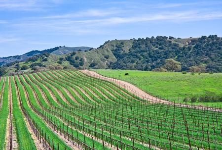 Photo for A vineyard landscape near Santa Barbara, California. - Royalty Free Image