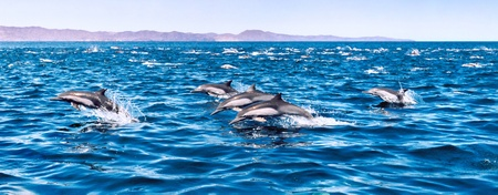 A large herd of common dolphins.   Image is from a film original and displays a distinct grain pattern at 100%.