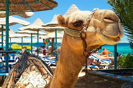 Attraction of the beach at the Bella Vista Resorte in Hurghada - camel. Holiday in Egypt.