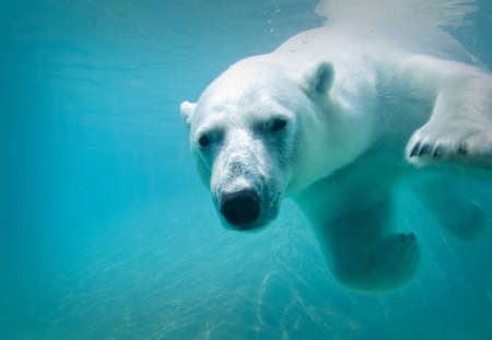 Polar bear swimming underwater at the zoo
