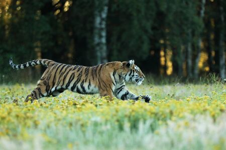 Photo pour Tiger with yellow flowers. Siberian tiger in beautiful habitat on meadow - Pathera tigris altaica - image libre de droit