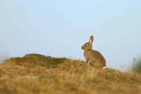 Rabbit on summer meadow sitting in grass. Animal nature  wildlife in meadow. European rabbit in grass.