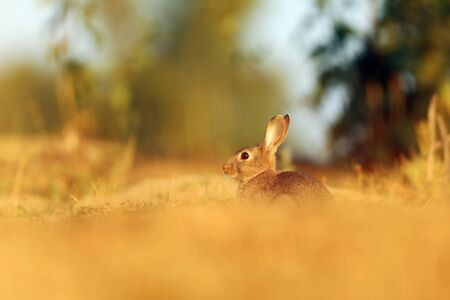 Animal in nature habitat, life in the meadow, Czech republic. European rabbit or common rabbit, Oryctolagus cuniculus, hidden in the gras.