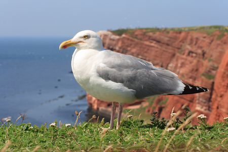 Herring gull at German island Helgoland in the Northsea