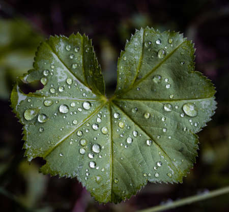 Water drops on the leafs of a Ladys mantle