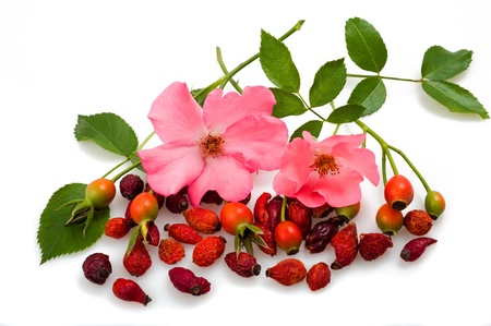 flowers and fruits of wild rose