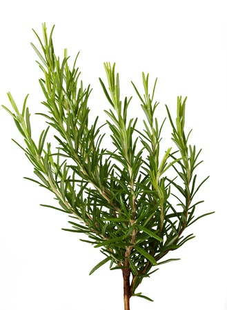 Rosemary sprig  isolated on white