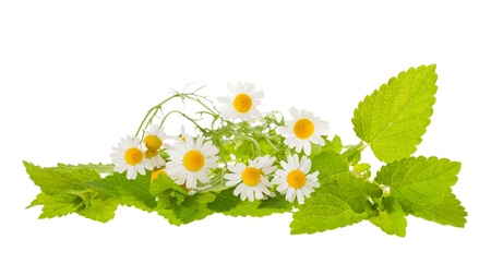 chamomile and lemon balm isolated on white