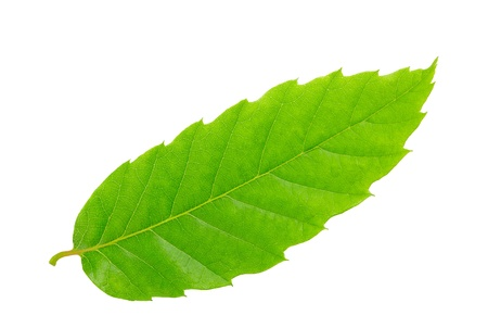 Chestnut leaf isolated on white