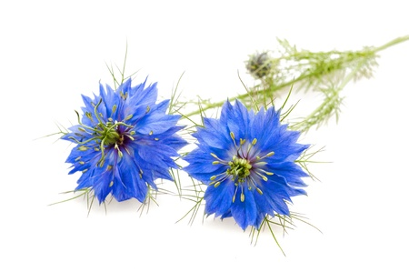 two nigella flowers isolated on white