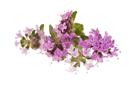 Thyme flowers,aromatic herb in bloom