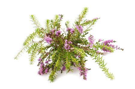 Purple heather branch isolated on white background
