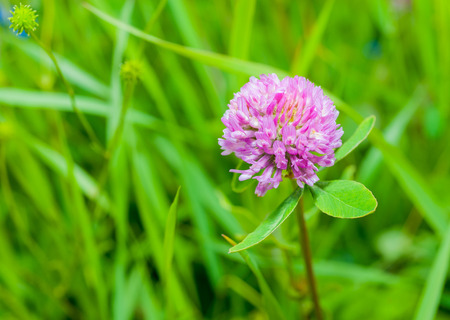 clover plants with flowers on blurred background