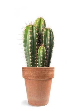 Potted  cactus isolated on white background