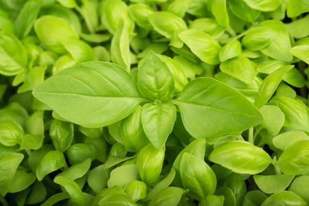 Green fresh Basil  background, basil background