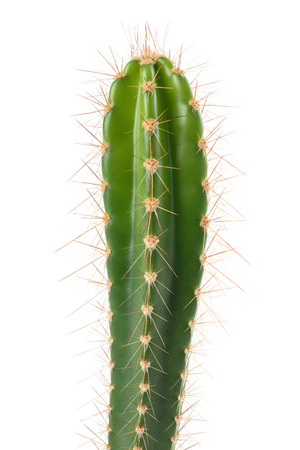 cactus branch isolated on white background
