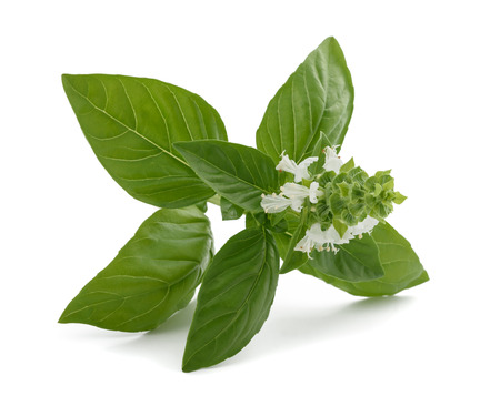 Basil with flowers  isolated on white background