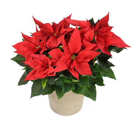 Red poinsettia plant in vase isolated on white