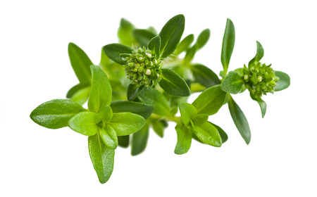 Summer savory branch isolated on white