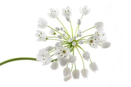 wild garlic flowers isolated on white background