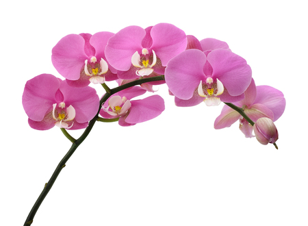 Pink orchids flowers isolated on white backgroundの写真素材