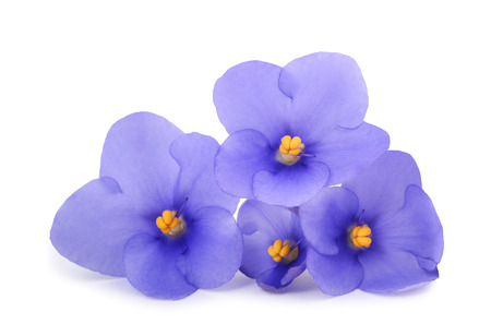 Photo for Saintpaulia (African violets) isolated on white background - Royalty Free Image