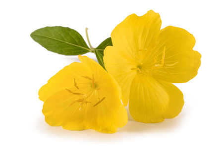 Photo pour common evening primrose flower isolated on white - image libre de droit