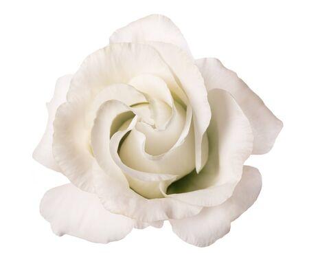 Photo for White rose flower isolated on white background - Royalty Free Image