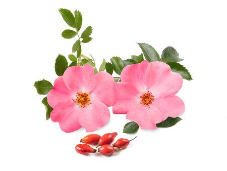 Photo for Dog rose ( rosa canina ) isolated on white background - Royalty Free Image