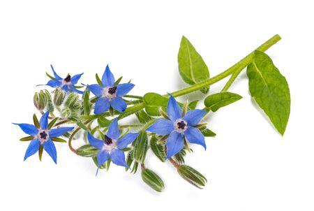 Photo pour Borage plant (Borago officinalis) isolated on white background - image libre de droit