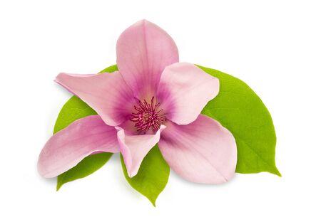 Photo pour pink magnolia flower isolated on white background - image libre de droit