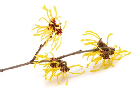 Photo for American witch hazel flower isolated on white background - Royalty Free Image