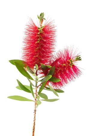 Photo pour Crimson bottlebrush flowers isolated on white background - image libre de droit