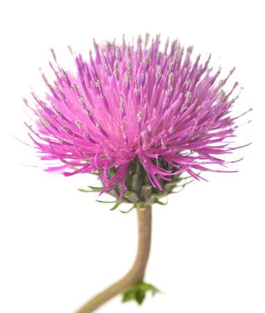 Foto für Thistle flower isolated on white background - Lizenzfreies Bild