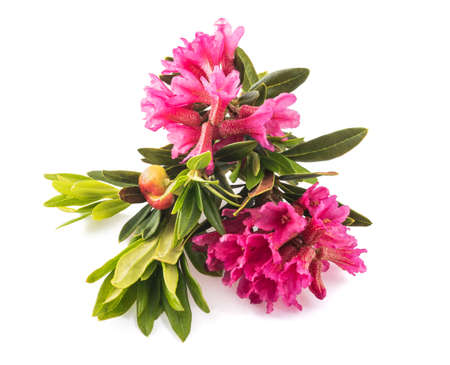 Photo pour Rhododendron ferrugineum, rusty leaved alpenrose isolated on white background - image libre de droit
