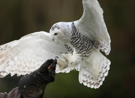 Close up of a Snowy Owl in flight