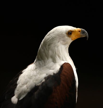 Portrait of a Sea Eagle looking proud against a black background