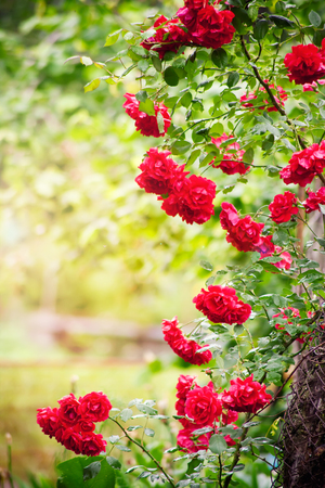 Natural roses frame in summer garden