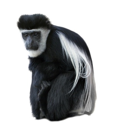 Abyssinian black-and-white colobus - monkey.
