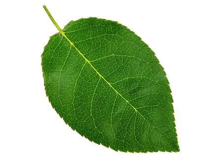 Photo pour Green small leaf on the white background - image libre de droit