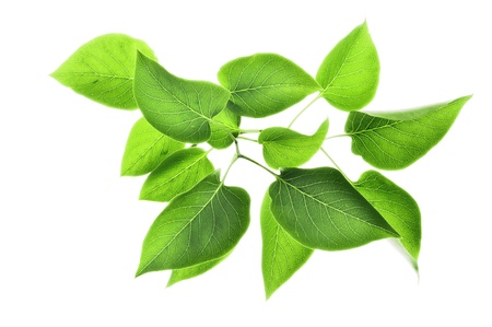 Photo pour green leaves isolated on white - image libre de droit