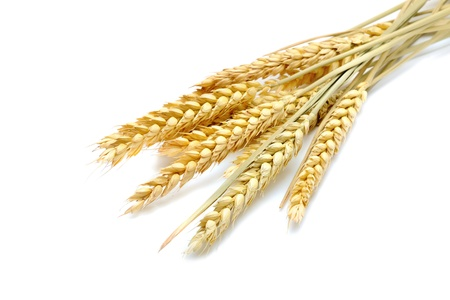 beauty golden wheat on the white background