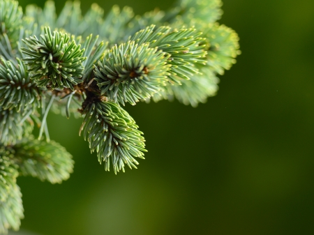 Photo for branch blue fir tree - Royalty Free Image