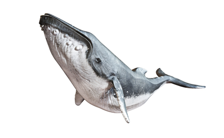 Photo for Humpback whale on an isolated white background. 3d rendering - Royalty Free Image