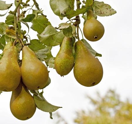 Foto für Pears on a tree - Lizenzfreies Bild