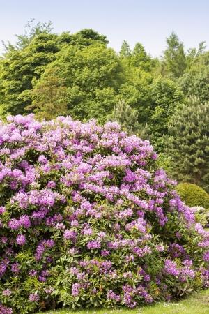 Rhododendron bushes inl summer garden in the sunshine